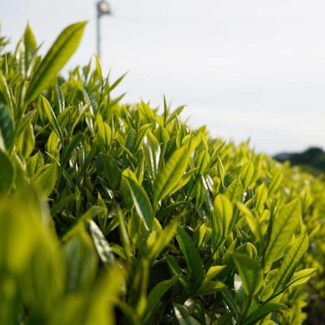 新茶はなぜ特別なのか?月ヶ瀬健康茶園の考える理想のお茶づくり